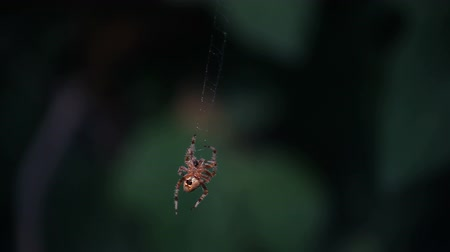 temor : garden spider becomes alarmed when its web is disturbed by a human