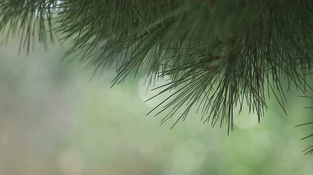 tű : needles of a pine tree against a pale green background