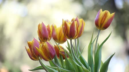 боке : brightly colored tulips in a breeze Стоковые видеозаписи