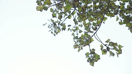 quaking : leaves in late October against a pale sky