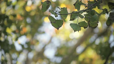 quaking : leaves in late October with bokeh of autumn colors in the background