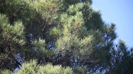 pinho : large pine tree on a windy day