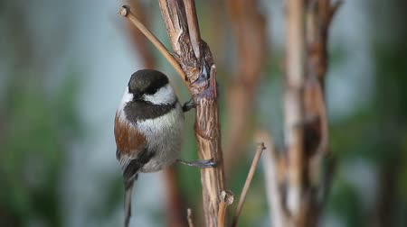 ave canora : a chestnut-backed chickadee watches the camera