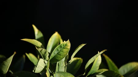 limão : leaves of a lemon tree against a dark background
