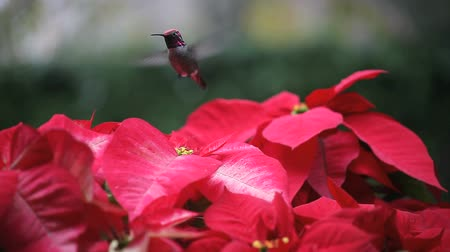 koliber : a hummingbird feeds among all-red and red-and-white poinsettias while keeping an eye out for competitors