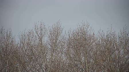серый фон : a stand of leafless trees on a cold day Стоковые видеозаписи