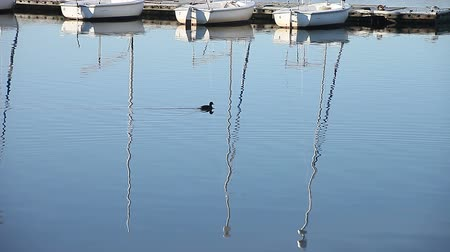 reflexão : coots swim by reflections of sailboat masts