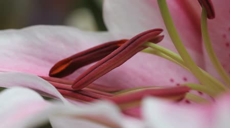 estame : view of the male parts of a lily