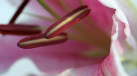 estame : closeup view of the male reproductive parts of a stargazer lily
