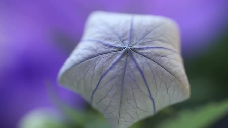 geometryczne : flower, also known as Chinese bellflower, that looks like a balloon before opening up