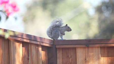 roedor : Squirrel makes loud calls on a suburban fence