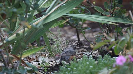 foraging behavior : A pair of robins forage for grubs and worms in a garden