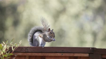 roedor : A squirrel grooms himself after eating a nut