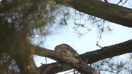 sas : Sharp-shinned hawk tearing into its prey high up in a tree
