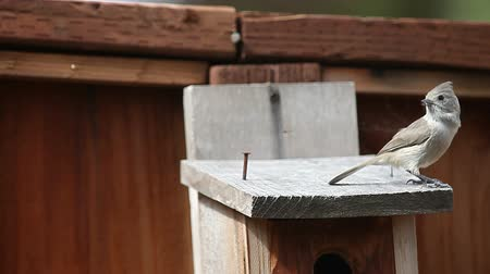 ave canora : A songbird perches on the top of a nesting box, and sings to his mate Vídeos