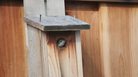 ave canora : Female tufted titmouse appears, vocalizes to her mate and flies away