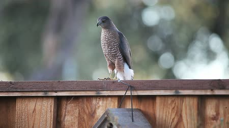 бдительный : Hawk on a backyard fence 91814 A young bird of prey looks for food in a suburban yard