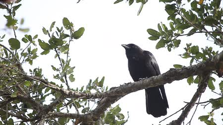 corvo : A crow observes its surroundings perched high in a tree. Vídeos