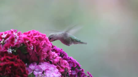 william : Hummingbird feeds in Sweet William flowers, then is distracted by her mate overhead.