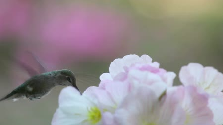 rubi : Female ruby-throated hummingbird feeding in pale pink flowers