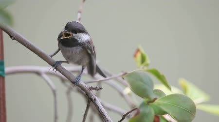 ave canora : Newly-fledged chickadee shakes its wings, and cries to be fed