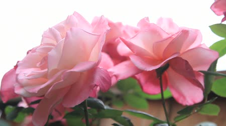 премия : Large 'First Prize' roses seen from a lower angle Стоковые видеозаписи