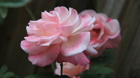 çiçekler : Pale pink roses with raindrops on a cloudy day Stok Video