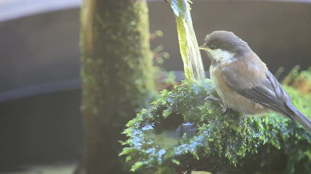 ave canora : A young chickadee refreshes itself at a backyard water feature