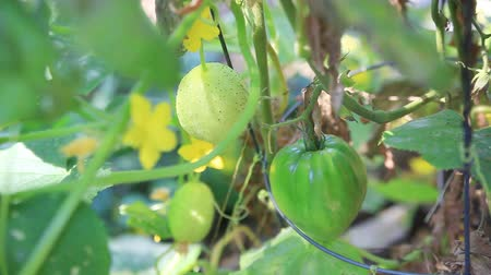 úponka : Lemon cucumbers have moved into an area where oxheart tomatoes are growing.