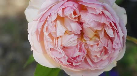 pálido : English rose 'Evelyn' closeup with intricate petal structure bred by David Austin