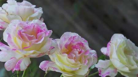 Grouping of hybrid tea roses in a spring garden