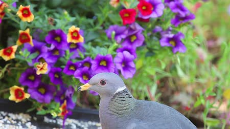 Closeup of band-tailed pigeon feeding in backyard setting