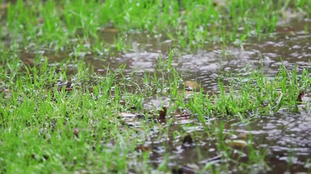 Patchy lawn with puddles in the rain Stock mozgókép