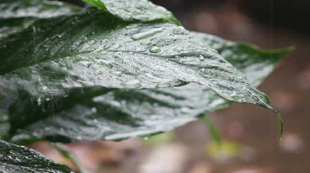 yağmur yağıyor : Healthy plant leaves in a rainstorm Stok Video