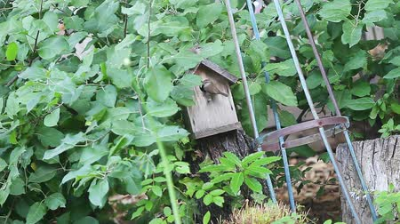 One baby wren leaves birdhouse while parent brings food to another