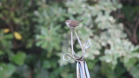 Bewick's wren perching atop a tall metal garden ornament Стоковые видеозаписи