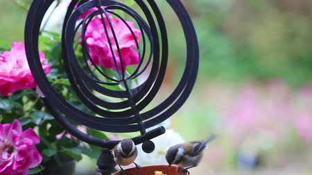 Recently-fledged backyard birds feed with a garden ornament next to a rosebush with copy space