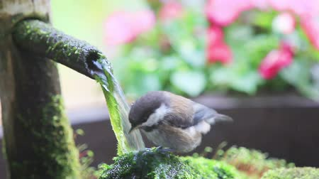 Fledgling backyard bird plays in a bamboo fountain Stock mozgókép