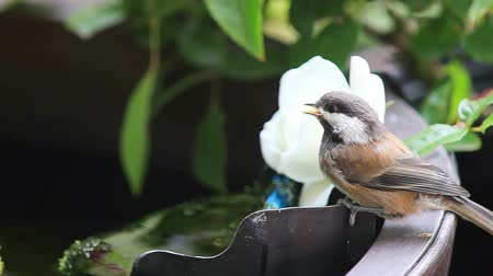 Fledgling chickadee drinks from a garden fountain filter next to plants Стоковые видеозаписи