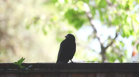 Near-silhouette of crow vocalizing on a suburban fence with room for text