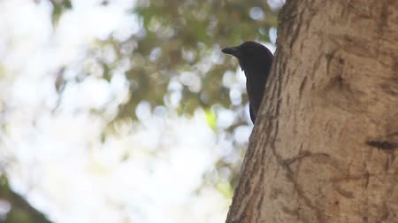 A crow looks around a tree and answers a call from another crow nearby