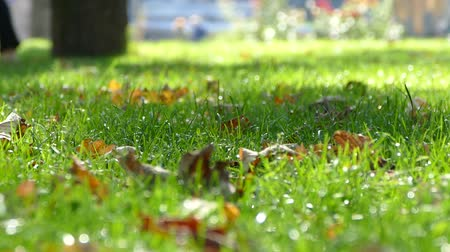 Leaves on the grass in the city park Stok Video