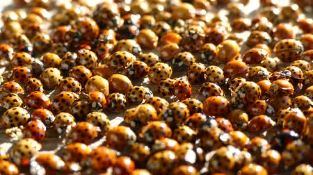 dozen : A lot of ladybirds Stock Footage