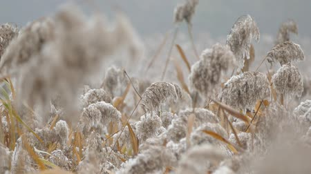 Fluffy reeds in the fall.