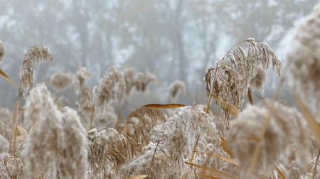 Fluffy reeds sway the autumn wind. Stok Video