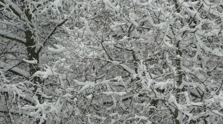 sniezynka : Trees in the snow.