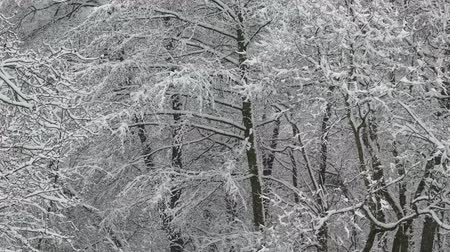 snowbound : Trees in the snow.