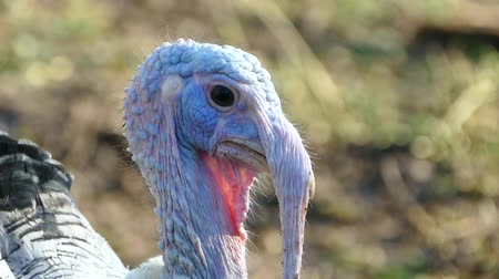 garnished : The turkey walks in the birds yard. Live beautiful turkey. Turkey for the holiday. Stock Footage