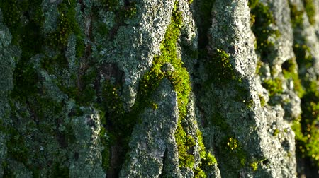 liken : Texture of the bark of a tree. The bark of the tree is covered with moss. Stok Video