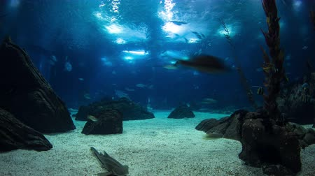 mergulhador : Fishes in Lisbon Oceanarium passing by with rocks, Portugal timelapse 4K
